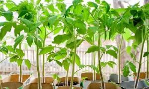 Правильное выращивание рассады помидоров